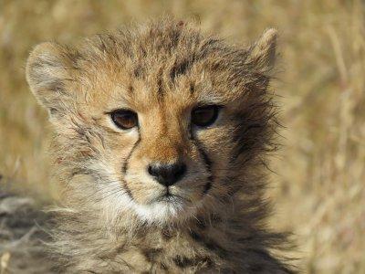 Monitor cheetahs