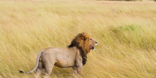 Wildlife Research Africa - Volunteer Experience with lions